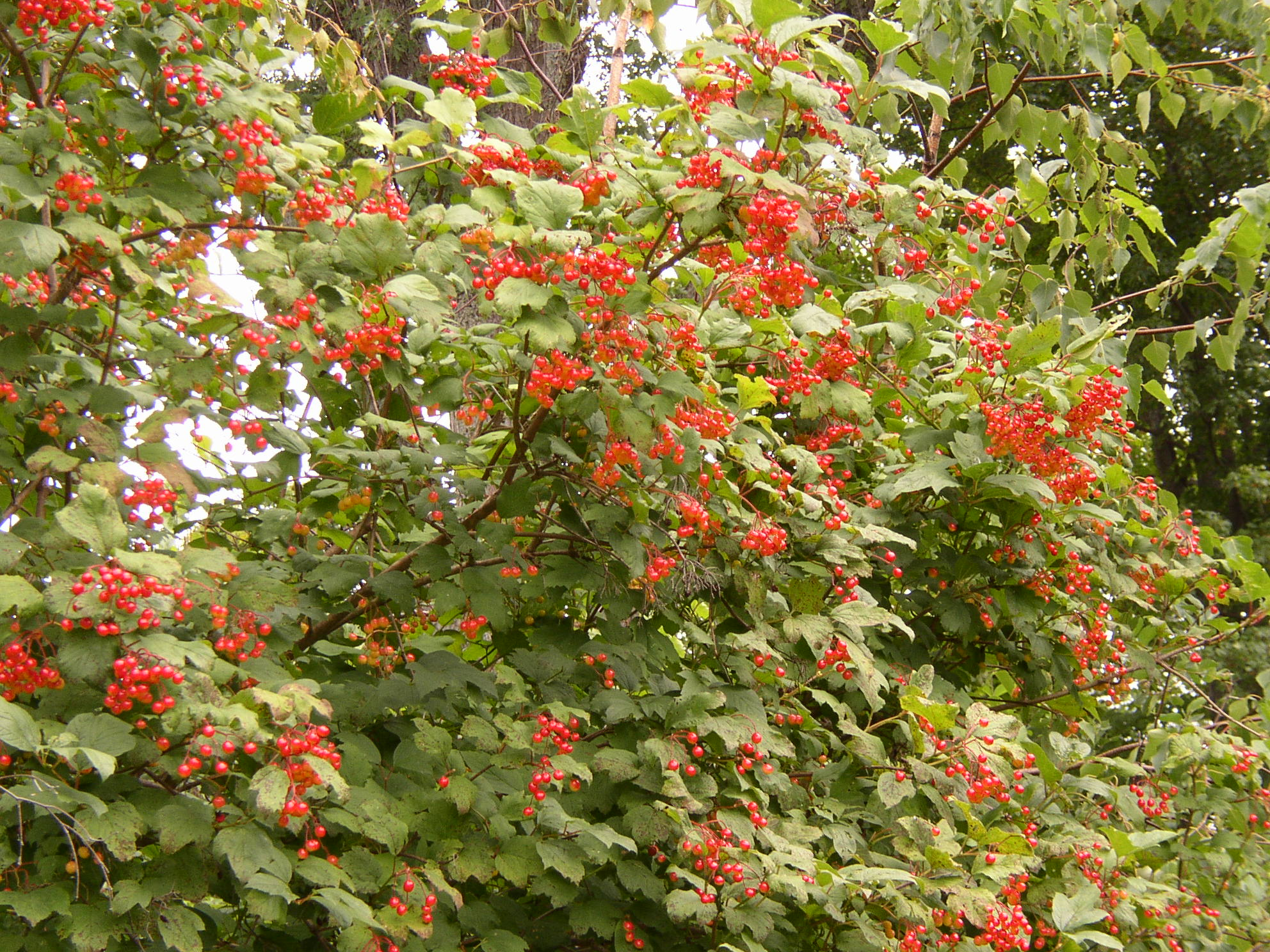 Courage For High Bush Cranberry And Authors Emma J Lane